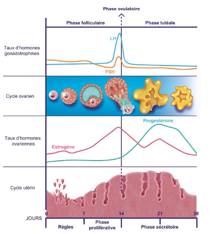 schéma du cycle féminin action fibrome